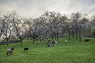 Germany, Stapelburg, flock of sheep and flowering cherry trees in the evening - PVCF000822