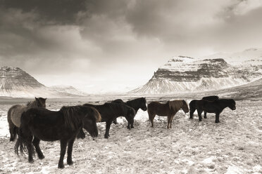 Iceland, Snaefells, Icelandic horses in the snow - FCF000865