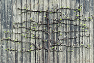 Pear tree growing on old wooden wall - OPF000111