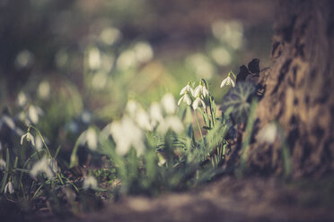 Snowdrops, close-up - ASCF000563