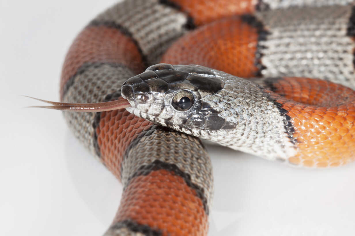 Portrait of Gray-banded kingsnake sticking out tongue - ERLF000160 - Enrique Ramos/Westend61