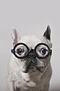 Portrait of French Bulldog wearing glasses - RTBF000108