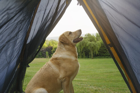 Labrador Retriever sitting in front of tent - ECF001871