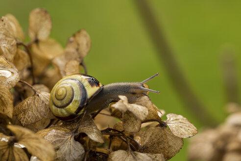 Snail on Hydrangea - JUNF000487