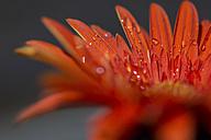 Orange gerbera flower with water drops - JUNF000490
