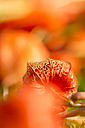 Chinese lantern in autumn, close-up - JUNF000494