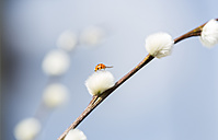 Pussy willow, Salix, with ladybird - JUNF000501