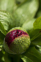 Dewdrops on bud of red peony, Paeonia - JUNF000507
