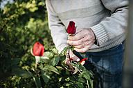 Senior man cutting rose in the garden, close-up - JRFF000572