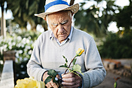 Senior man cutting rose in the garden - JRFF000575