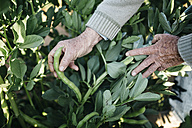 Hands of senior man picking beans in his garden - JRFF000584
