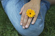 Hand of woman with blossom of pot marigold - CRF002749