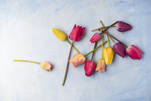 Different tulips on light blue ground - MYF001460