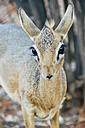 Namibia, Etosha National Park, portrait of female dik-dik - GEMF000887