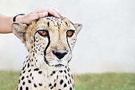 Namibia, Kamanjab, man's hand petting a tame cheetah - GEMF000893