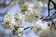 Blossoming cherrry tree - ASCF000579