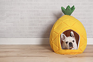French bulldog lying in his bed shaped like pineapple - RTBF000182