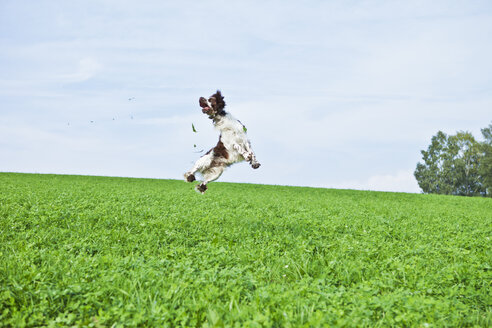 English Springer Spaniel jumping in the air on a meadow - MAEF011498