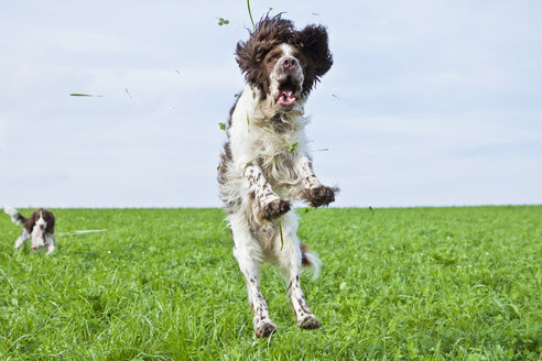 English Springer Spaniel jumping in the air on a meadow - MAEF011504