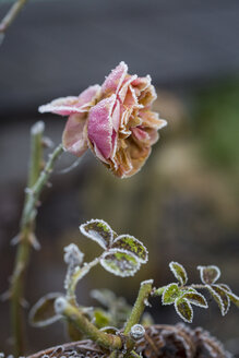 Germany, rosa rose in winter - JUNF000526