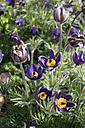 Common pasque flower, Anemone pulsatilla - NDF000584