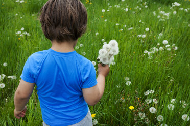 Little boy picking dandelions on meadow - VABF000500