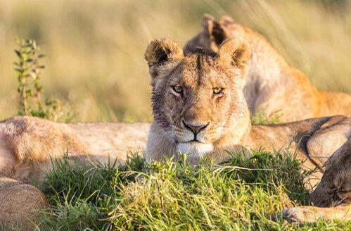 Africa, Kenya, wild lions in the Maasai Mara National Reserve - JLRF000031