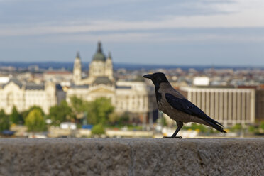 Hungary, Carrion crow, Corvus corone in front of St. Stephen's Basilica in Budapest - GFF000590