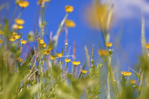 Yellow buttercups, Ranunculus acris - JTF000736