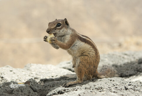 Spain, Fuerteventura, portrait of eating Barbary ground squirrel - MFRF000718