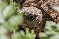 Portrait of forest tortoise, Chelonoidis denticulata - ZEDF000140