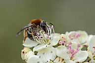 Solitary bee on a blossom - MJOF001183