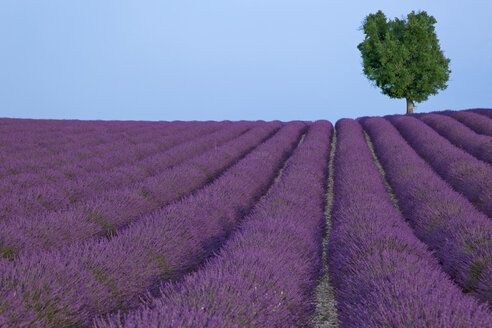France, Provence, single tree at lavender field - KLRF000328