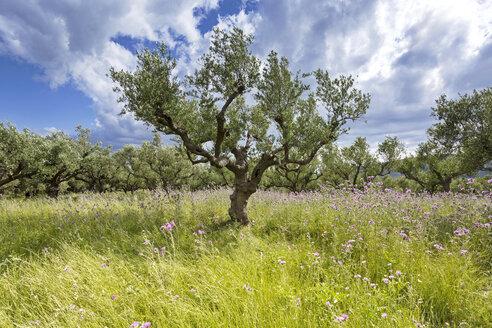 Greece, Zakynthos, Olive trees, Olea europaea - FPF000080