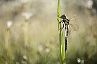 Hairy dragonfly, Brachytron pratense - MJOF001184