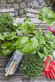 Gardening, different medicinal and kitchen herbs and gardening tools on garden table - GWF004710