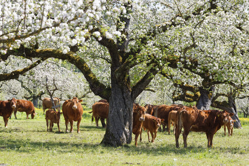 Deggenhauser Valley, cows on meadow, flowering apple trees - SIEF007023