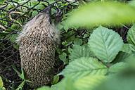 Hedgehog on a wire mesh fence - DEGF000808