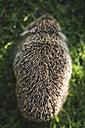 Back view of a hedgehog - DEGF000811