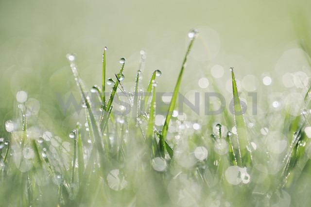 Dew drops on grass - RUEF001701