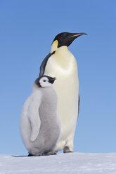 Antarctica, Snow Hill Island, Emperor penguin with chick - RUEF001704