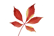 Autumn leaf of Virginia Creeper in front of white background - RUEF001719