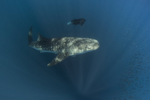 Indonesia, Cenderawasih Bay, Whaleshark and female diver - TOVF000051