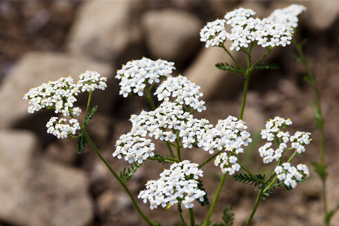 Blossoming Common Yarrow - CSF027460