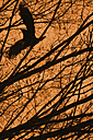 Flying crow with branches and orange sky - AXF000778