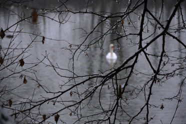 a white swan on a lake in winter, branches with raindrops in the foreground - AXF000781