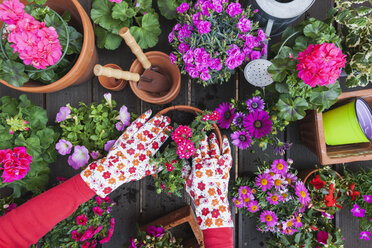Gardening, different spring and summer flowers, flower box and gardening tools, potting - GWF004723