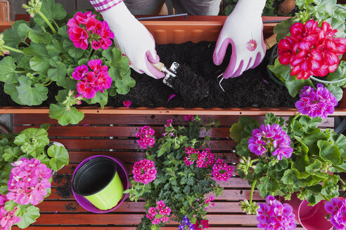 Gardening, different spring and summer flowers, flower box and gardening tools, potting - GWF004726