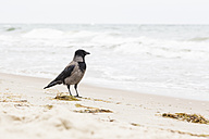 Hoodiecrow standing at seashore - NGF000333