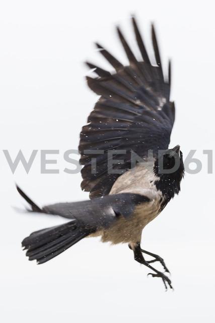 Flying hoodiecrow - NGF000336 - Nadine Ginzel/Westend61